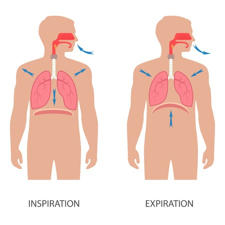 Diaphragmatic breathing is indicated in this illustration of the respiration cycle.