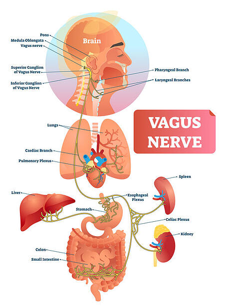 The vagus nerve: how to eliminate fear of public speaking.