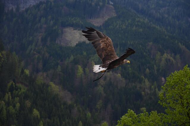 Stock photo of bird of prey or raptor flying over forest.