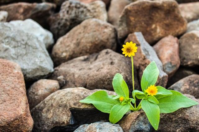 Stock photo image of flower growing among rocks.