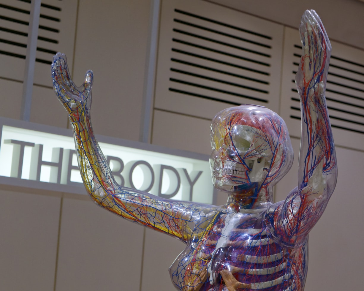 Model of the human nervous system.
