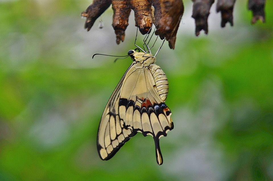 Stock photo of swallowtail butterfly emerging from cocoon.